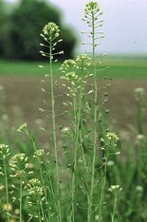 Camelina, a biofuels source