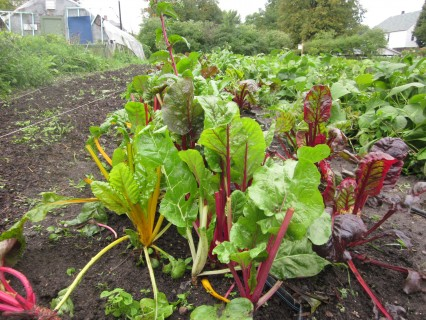 chard, the bacon of greens