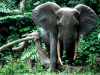 IUCN: Poaching Is Devastating African Elephant Population
