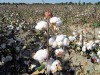Free TVs Can't Mask Human Rights Violations in Uzbekistan Cotton Fields