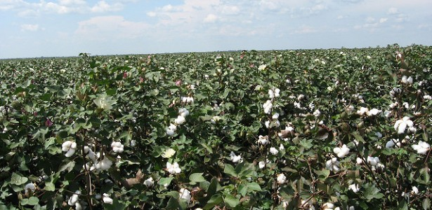 DNA Tagging Could Improve Traceability in the Global Cotton Supply Chain