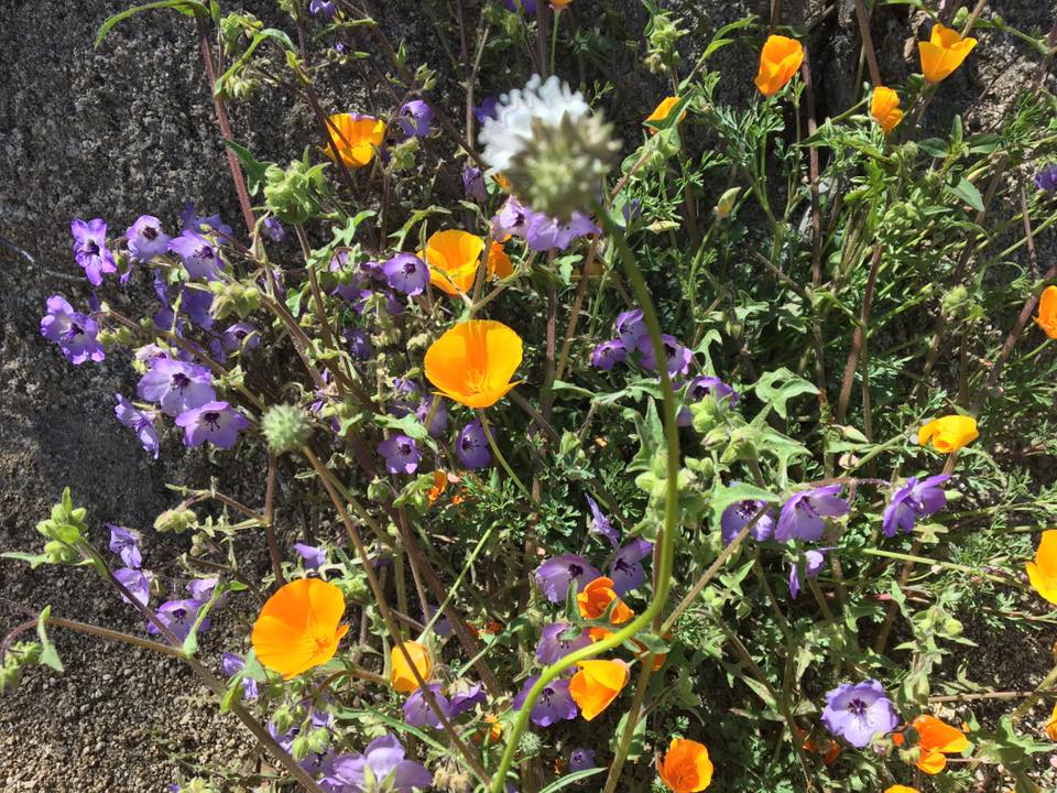 Kings Canyon National Park, Fresno, San Joaquin Valley, travel, national park, public lands, hiking, Leon Kaye, wildflowers, super blooms