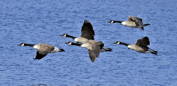 Boeing, NASA Make Like Canada Geese to Save Energy