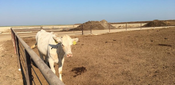 Competition Fierce for Manure-to-Energy Projects in California's Dairy Industry